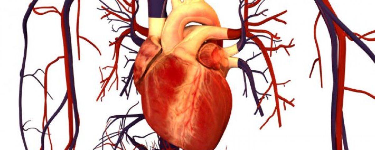 Un mecanismo clave para la función de los músculos y el corazón ...